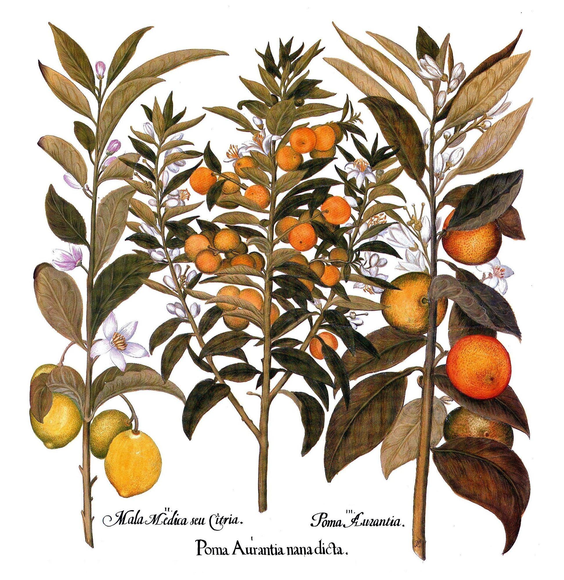 """Zu den Kostbarkeiten der botanischen Literatur zählt der 1613 von Basilius Besler in Nürnberg herausgegebene """"Hortus Eystettensis"""". Der reich illustrierte, detailreiche Prachtband zeigt eine Fülle der damals bekannten Zier- und Nutzpflanzen. Eine Tafel des großformatigen Werkes ist den Agrumen (Zitrusgewächsen) gewidmet. Die Abbildung zeigt (von links) einen Zitronat-Zitronenbaum, eine Zwerg-Pomeranze und eine Pomeranze (auch Bitterorange genannt). Auch die Gärtner der Gothaer Herzöge haben möglicherweise den """"Hortus Eystettensis"""" gekannt und sich von ihm für die Bepflanzung der Nutz- und Lustgärten in der Residenzstadt inspirieren lassen. (Repro: Cramer)"""